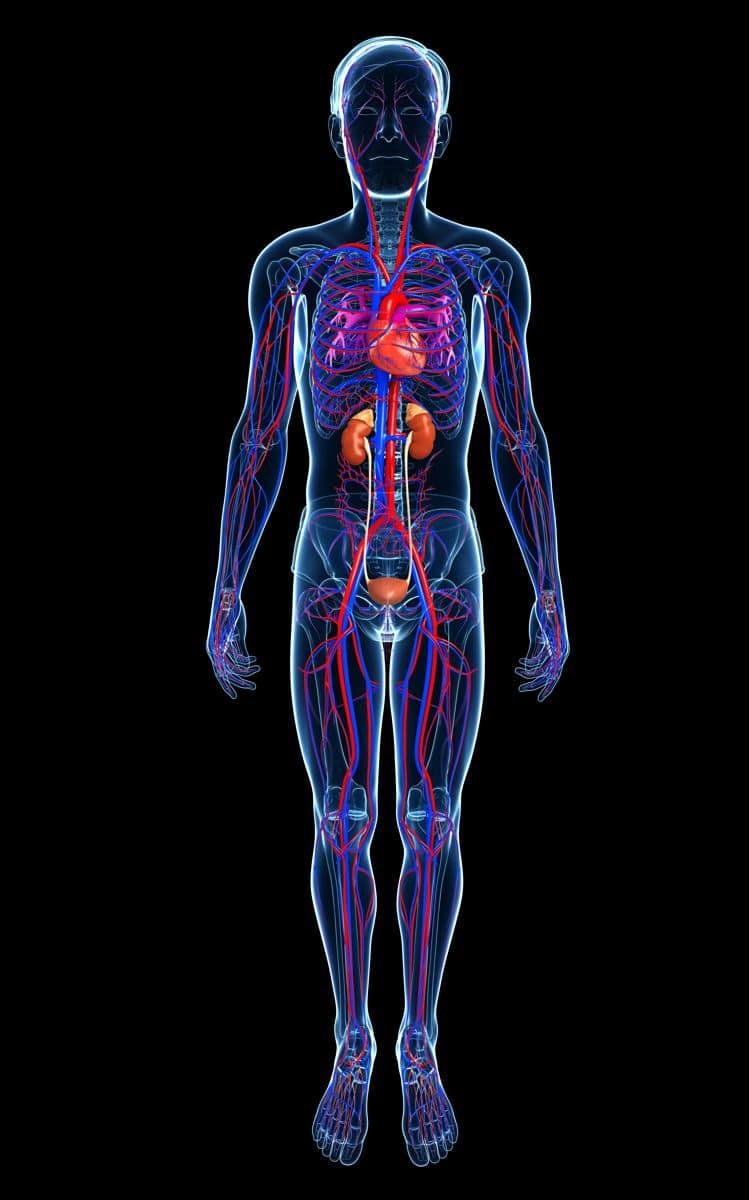 Mensch Körper Blutbahnen